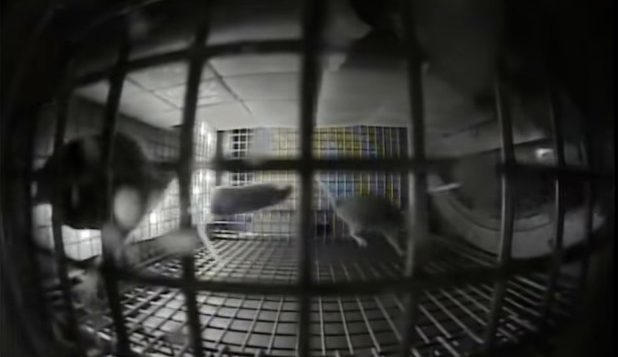 The mice in NASA's space experiment.